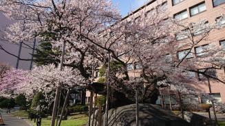 満開となった国指定天然記念物の石割桜=盛岡地裁