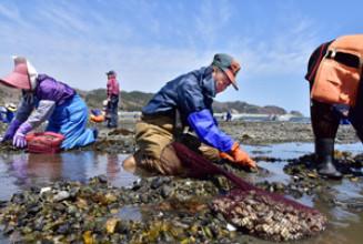 穏やかな春空の下、熊手でアサリを掘り出す漁業者ら=22日、宮古市金浜