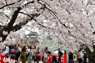 ソメイヨシノが満開となり、花見客でにぎわう弘前公園=青森県弘前市