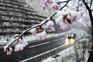 咲いたばかりの桜に積もった雪。車は速度を落とし慎重に走った=26日、久慈市山形町・国道281号