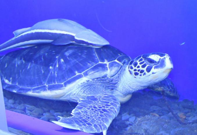 雌と性別判定されたアオウミガメ「カメ吉」