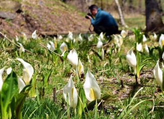 見頃を迎え、湿地を白く染めるミズバショウ