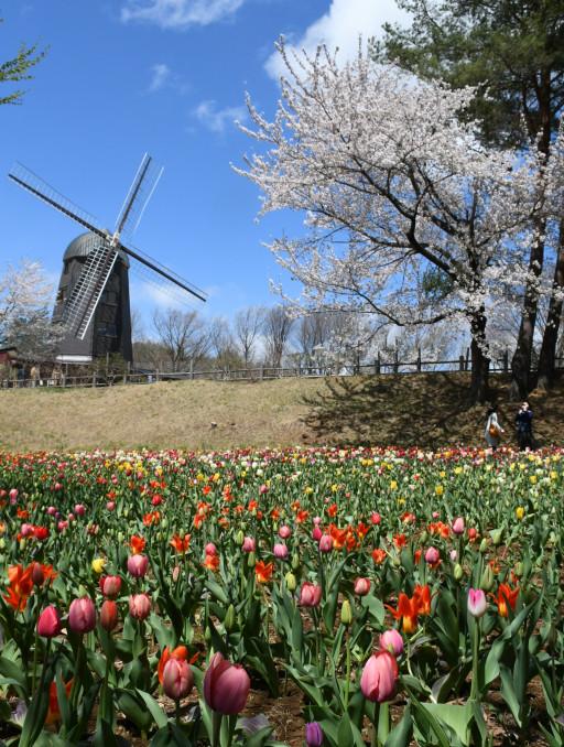 色とりどりのチューリップと桜が競演する雪谷川ダムフォリストパーク・軽米