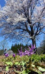 満開の桜とカタクリが競演する第1群生地