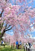 米内浄水場の桜公開延長