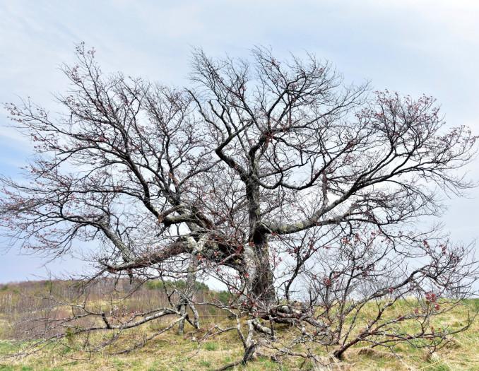 見頃の時期を迎えても、ごく一部しか花が咲かない亀ケ森の一本桜。市民らは樹勢の衰えや病気を心配している=9日、宮古市田代