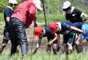 泥に悪戦苦闘、秋の収穫楽しみ 陸前高田、横田小児童が田植え
