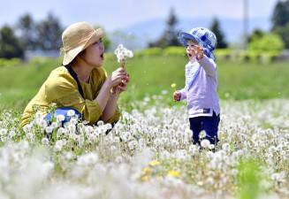 陽気の中、綿毛を飛ばして遊ぶ高橋尚子さん、成ちゃん親子=16日、花巻市松園町・日居城野運動公園