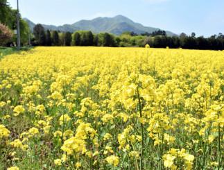 見頃を迎えている矢巾町営キャンプ場の菜の花畑