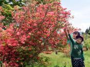 初夏の室根山、増す彩り 一関、つつじまつりスタート