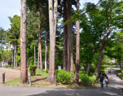 巨木化したスギ11本を伐採計画 盛岡市方針、岩手公園鶴ケ池