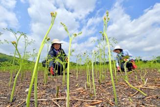 青々と育ったワラビを収穫する来園者=24日、西和賀町槻沢