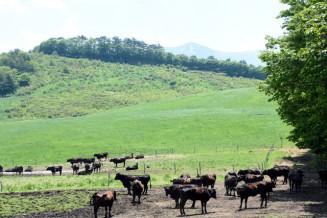 広い牧野に放たれた牛