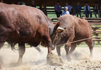 激しく土を蹴り上げ、ぶつかり合う若牛