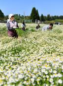 晴れやか 癒やしの源 カモミール、野田で収穫期