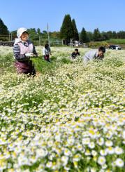 一面に広がるカモミール畑で収穫作業に励む生産者ら=30日、野田村野田