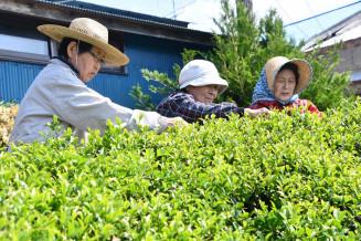 気仙茶の新芽を手際よく摘み取る参加者