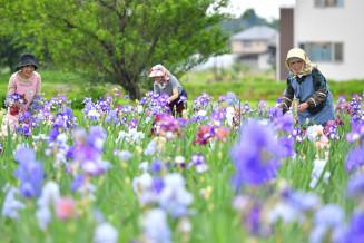 色鮮やかな花を咲かせるジャーマンアイリス=5日、矢巾町煙山