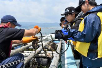 カキの稚貝を挟み込んだロープを養殖いかだにつるす作業を手伝う生徒