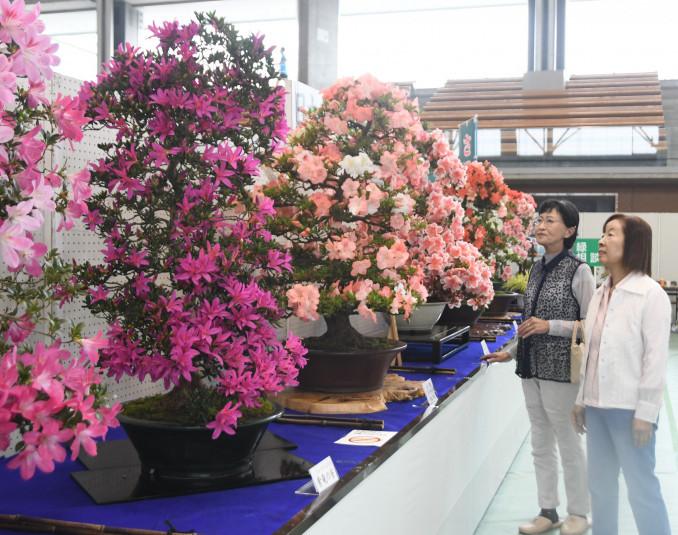 色とりどりの花を咲かせたサツキの盆栽を見つめる来場者