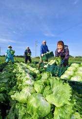 鮮やかな黄緑色に育ったレタスを収穫する生産者ら=18日、一戸町中山