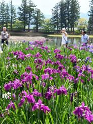 毛越寺境内で咲き乱れるハナショウブ=20日、平泉町平泉