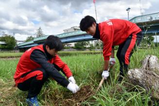 オオハンゴンソウの根を掘り出す盛岡四高ハンドボール部の生徒