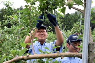 米崎りんごの摘果作業に取り組む大船渡東高の1年生