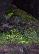 ほんのり登山者照らす 薬師岳のヒカリゴケ