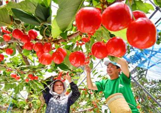 真っ赤に色づいたサクランボを収穫する小野寺謙寛さん(右)と母のツセさん=2日、二戸市米沢