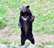 リオ3歳、よろしくネ 盛岡市動物公園、ツキノワグマ公開