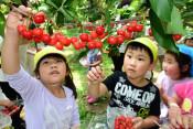 摘みたての赤い実ぱくり 二戸・園児招き収穫体験