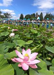 青空の下、ピンクに色づき咲き始めた古代ハス=10日、紫波町南日詰・五郎沼