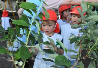ブルーベリーを収穫する園児たち