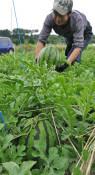 夏の恵み〝ごろり〟 滝沢スイカ収穫始まる