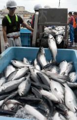 久慈港に初水揚げされた養殖ギンザケ。今後の産地化が期待される=30日、久慈市長内町