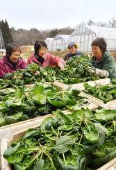 収穫した寒締めホウレンソウの出来を確かめる生産者=1月21日、久慈市長内町