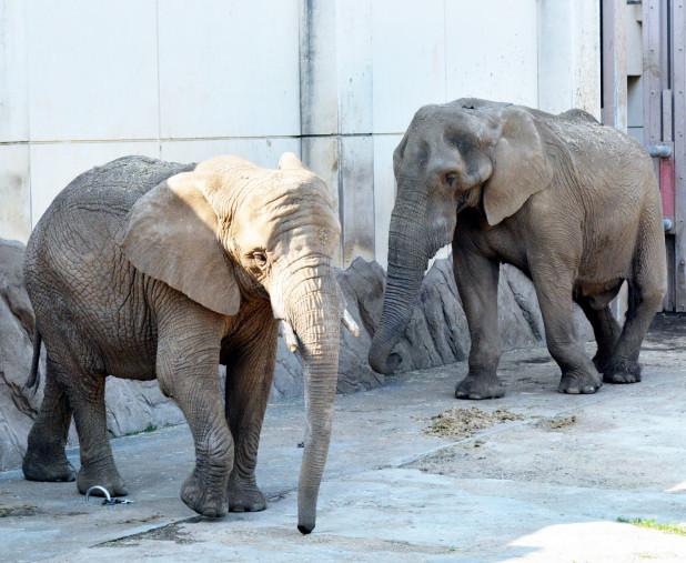 盛岡市動物公園のアフリカゾウ、マオ(左)とたろう。仙台市と秋田市の動物園と連携し、繁殖に取り組む