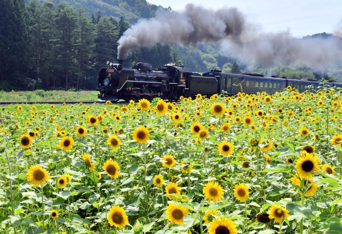 一面に咲き誇るヒマワリ畑を横に、黒煙を上げて走り抜けるSL銀河=7日、遠野市上郷町