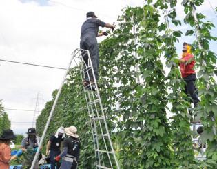 試験栽培する畑でホップ収穫を行うしずくいしホップチャレンジのメンバーら。ビールまつりでは収穫体験もできる