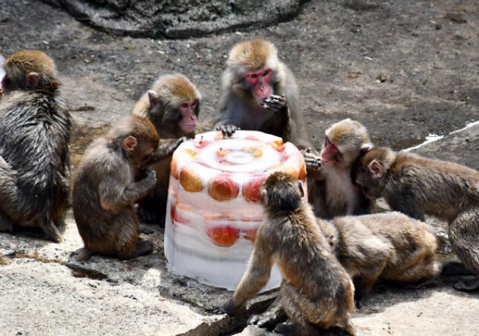 夏ならではの凍ったリンゴを夢中で食べるニホンザル