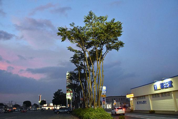 ムクドリの大群が集まっている立木。立地する商業施設や住民を驚かせている=矢巾町南矢幅