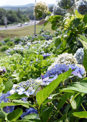 美しい花を咲かせているアジサイ