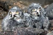 シロフクロウすくすく 盛岡市動物公園、ひな2羽公開