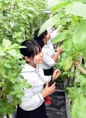 熱水ハウスで水耕栽培されているバジルの収穫を体験する平舘高の生徒