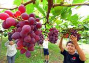 香り漂う「秋の粒」 紫波町でブドウ収穫