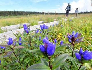 青空の下、登山道の脇に咲く色鮮やかなエゾオヤマリンドウ=4日、八幡平・八幡沼付近