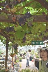 花工房らら倶楽部の植物棟で色づき始めたブドウ棚の「巨峰」