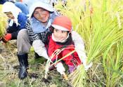 手刈りに挑戦、よいしょ! 二戸・こども園、もち米収穫体験