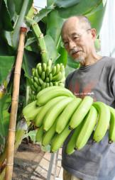 ずしりと実ったバナナを収穫する大沢啓造さん=30日、北上市平沢